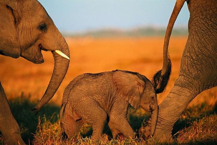Pourquoi l'éléphant a son cimetière exclusif