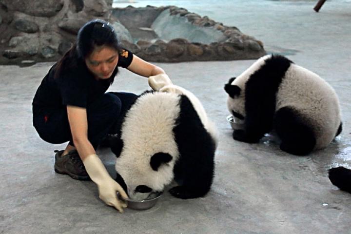 Rencontrer les pandas